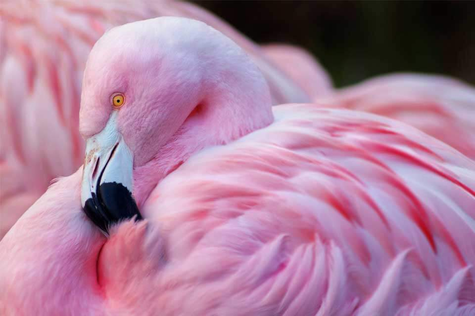 Are All Flamingos Pink